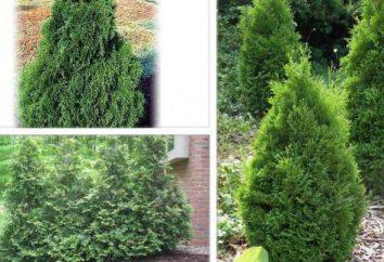 Arborvitae variedades, descrição de variedades, cultivo