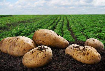 Mondenschein-Kartoffeln zu Hause: ein Rezept, vor allem das Kochen