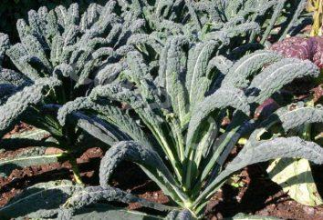Kale: descrizione, caratteristiche di coltivazione, varietà, le foto