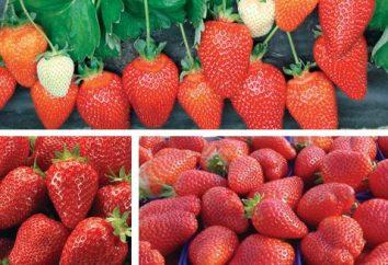 """""""Alba"""" (fresa): Descripción de la variedad"""