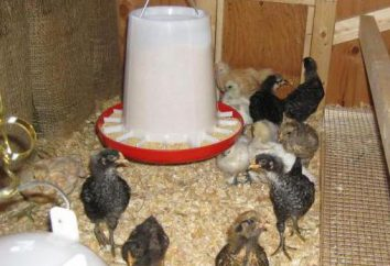 Jak podgrzewać zimę z kurczaka? Lampy podczerwone do kurczaków Temperatura w kurczaku kozim w zimie