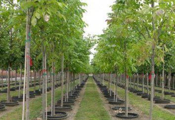 Onde comprar mudas de árvores frutíferas? Kennel (Nizhny Novgorod) está pronto para oferecer-lhe muitas opções.