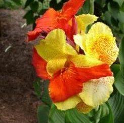 Quando lo scavo e come conservare questi fiori Canna in inverno