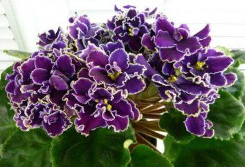 Violet Macho: photo et la description de la variété
