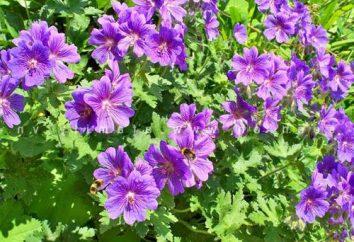 Geranium ogrodu: Sadzenie i pielęgnacja, zdjęcia