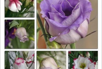 Irish Rose lub eustoma w domu