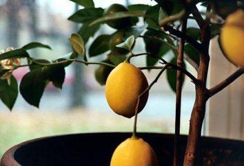 Agrumi piante d'appartamento: tipologie, caratteristiche di coltivazione e la cura
