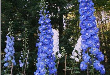 Delphinium: cuidado e cultivo. Plantio em delphinium outono
