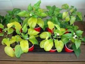 Por que folhas ficam amarelas na mudas de pimenta