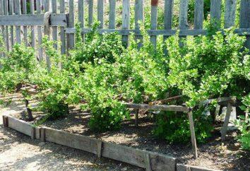 Agrest Ural szmaragd: sadzenie, pielęgnacja, opis odmiany i opinie
