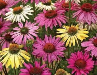 Echinacea – les fleurs, et possédant des propriétés décoratives et médicinales