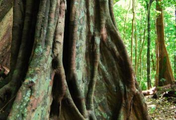 Ebony Baum: Fotofarbe. Fruit of Ebenholz. Produkte aus Ebenholz