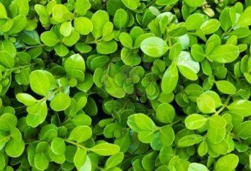 Arbusto perene buxo: plantio, cuidado, criação de animais