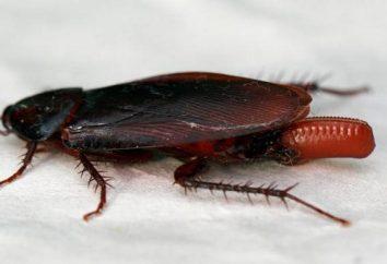 Quanti scarafaggi tratteggio da un uovo? Quali differenze hanno in muratura di alcuni tipi di parassiti?