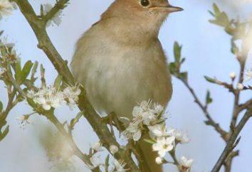 Jaki ptak śpiewa w nocy i dlaczego?