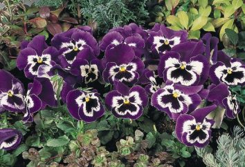 Viola Wittrock: características e classificação de jardim