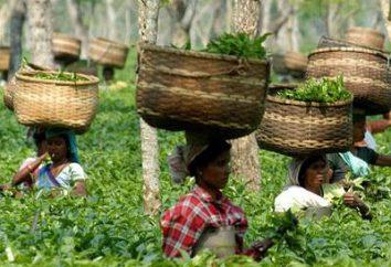 província indiana de Assam: Chá de sua produção – um dos líderes internacionais