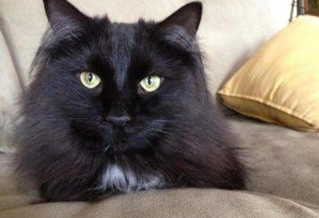 Chantilly Tiffany: zdjęcia i opis rasy kotów