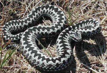 Uważaj, węże! Viper Sting: Pierwsza pomoc