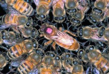 L'utérus de l'abeille: le spécimen principal de la ruche