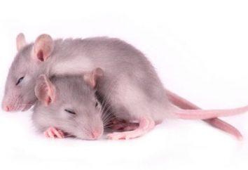 Powiedz nam, co śni szczura