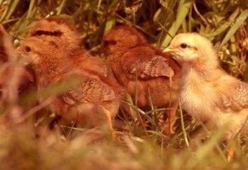l'avoine de poulets. Tenue de poules et élevage