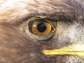 """Che cosa è il miglior perk – """"intercettare"""" o """"Eagle Eye""""? Descrizione, caratteristiche e raccomandazioni"""