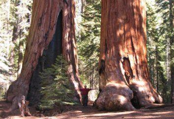 árbol gigantesco: descripción, fotos, datos interesantes