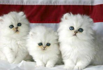 Biały kotek z niebieskimi oczami. Jak nazwać białego kociaka?