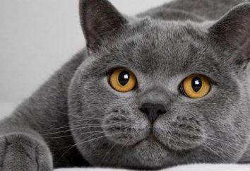 Was es ist und wie viele Leben eine Katze britischen?