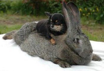 Outstanding conigli di razza – Fiandre