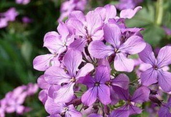 Metiola – flores criado médico italiano P. Mattioli