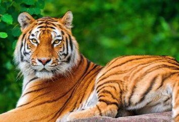 Co oznacza tygrysa we śnie?