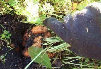 Nous savons que quand les carottes creusées
