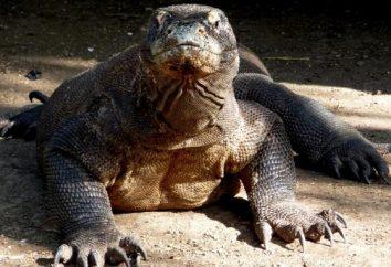"""Cień dinozaurów. Komodo """"smok"""" – największa jaszczurka naszych czasów!"""