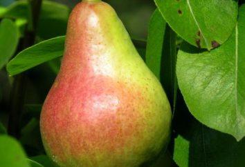 in den Vororten im Herbst Birnen Pflanzung, Pflege für Birnen
