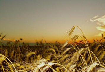 Le blé d'hiver: culture, la transformation et variétés