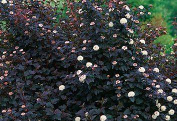Physocarpus kalinolistny Diablo – spektakularne dekoracje ogrodowe