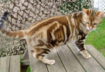 gatti a pelo corto: razze e tipologie