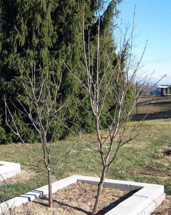 ist es m glich einen apfelbaum neben kirschen zu pflanzen die kompatibilit t der b ume im garten. Black Bedroom Furniture Sets. Home Design Ideas