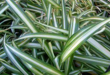House plant Chlorophytum: Zeichen und abergläubischen