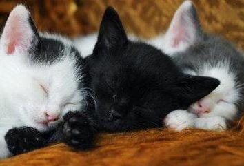 Et de quoi rêve-t-il? Des chatons et un chat – que signifient-ils?