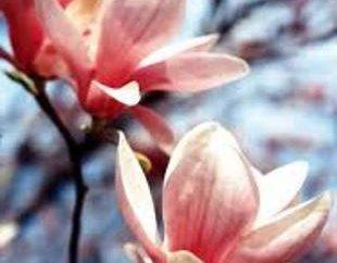 fleurs Magnolia. Maintenance, multiplication