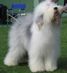 Puszysty biały pies (zdjęcia)