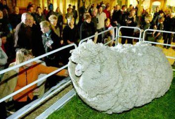 Ils donnent l'Merino moutons? Laine, et plus encore!