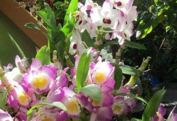 Pourquoi rêver d'une orchidée? Ce qui signifie que la beauté pure?