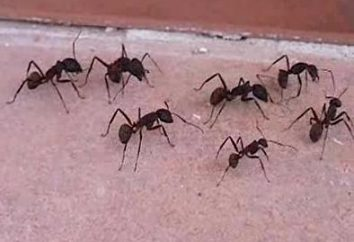Haushaltsschädlinge: Wie mit Ameisen beschäftigen.