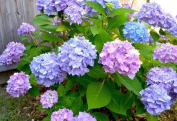 Perché non una fioritura ortensia in strada e in casa?