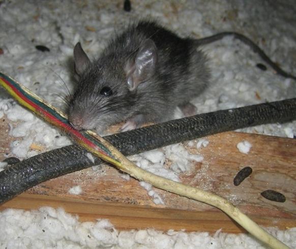 Wie loswerden Ratten und sichern ein Haus
