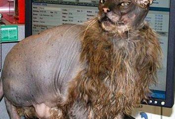 gatto spaventoso: la povera creatura e gli esperimenti genetisti